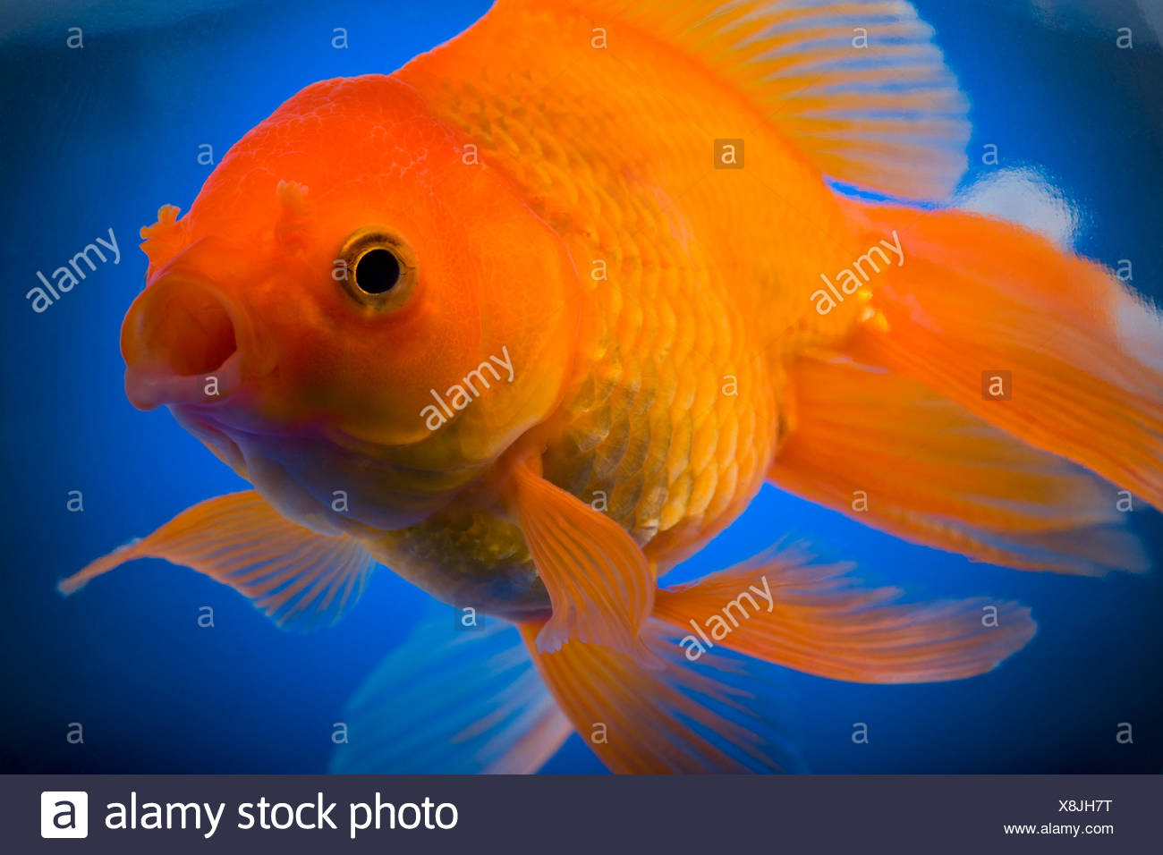 Detailed view of goldfish - Stock Image