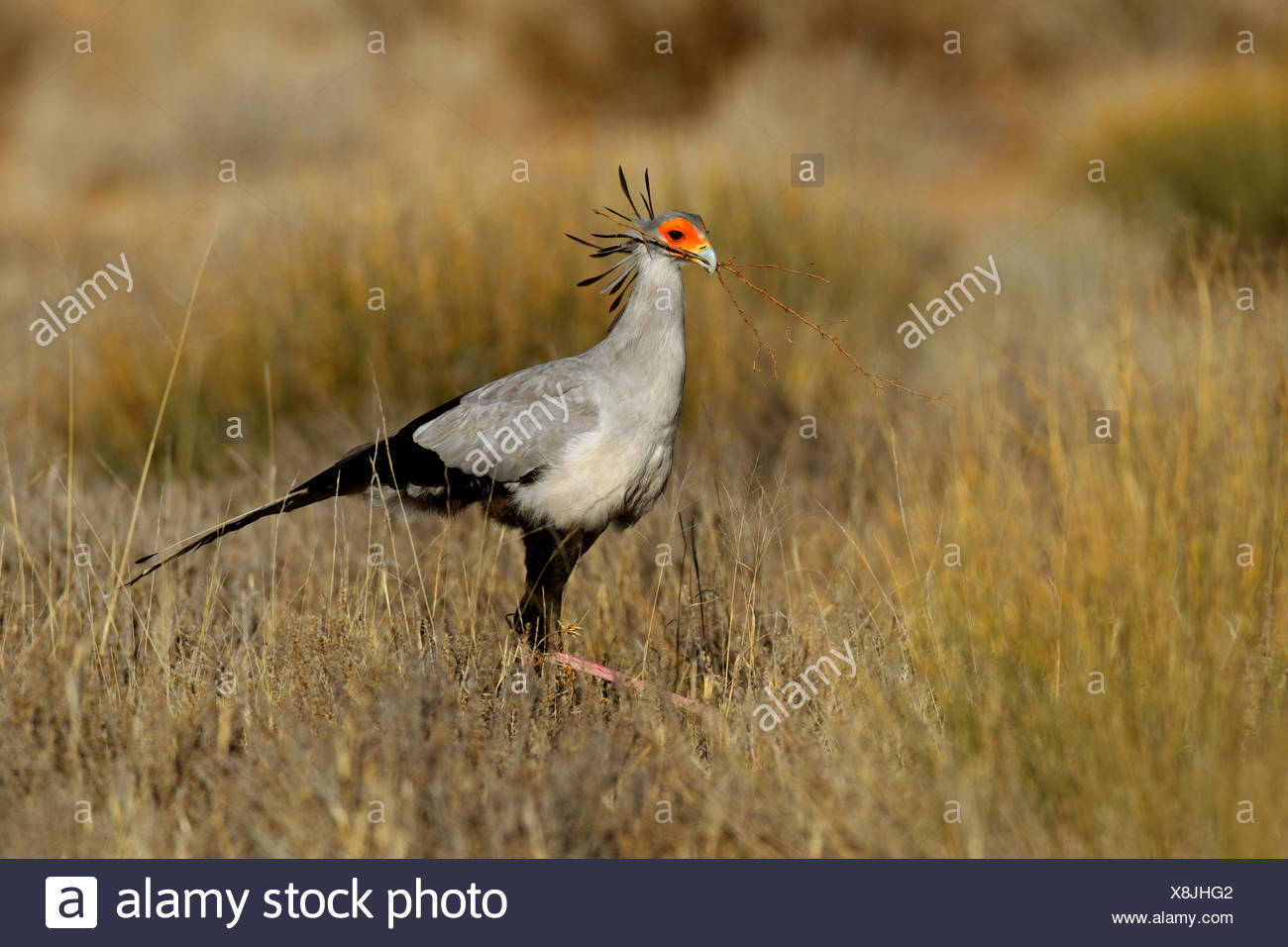 secretary bird, Sagittarius serpentarius (Sagittarius serpentarius), walking through grassland and looks for nesting material , South Africa, Kgalagadi Transfrontier National Park - Stock Image
