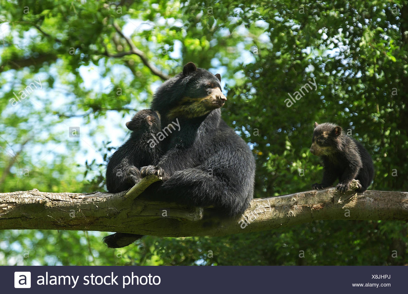Spectacled Bear, tremarctos ornatus, Female with Cub Stock Photo