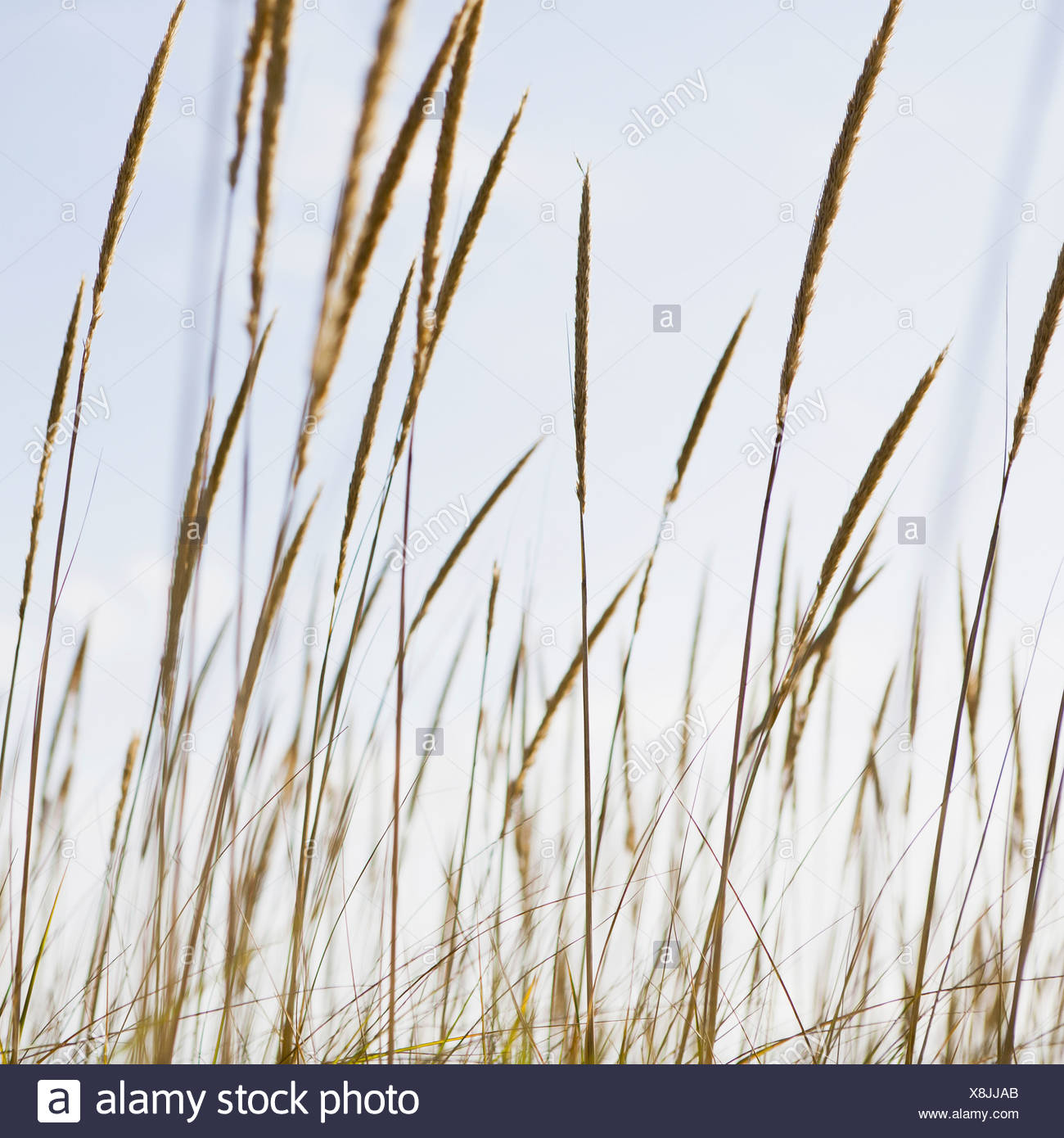 A close up of sea grasses or dune grasses on the Long Beach Peninsula Washington USA Long Beach Peninsula Washington USA - Stock Image