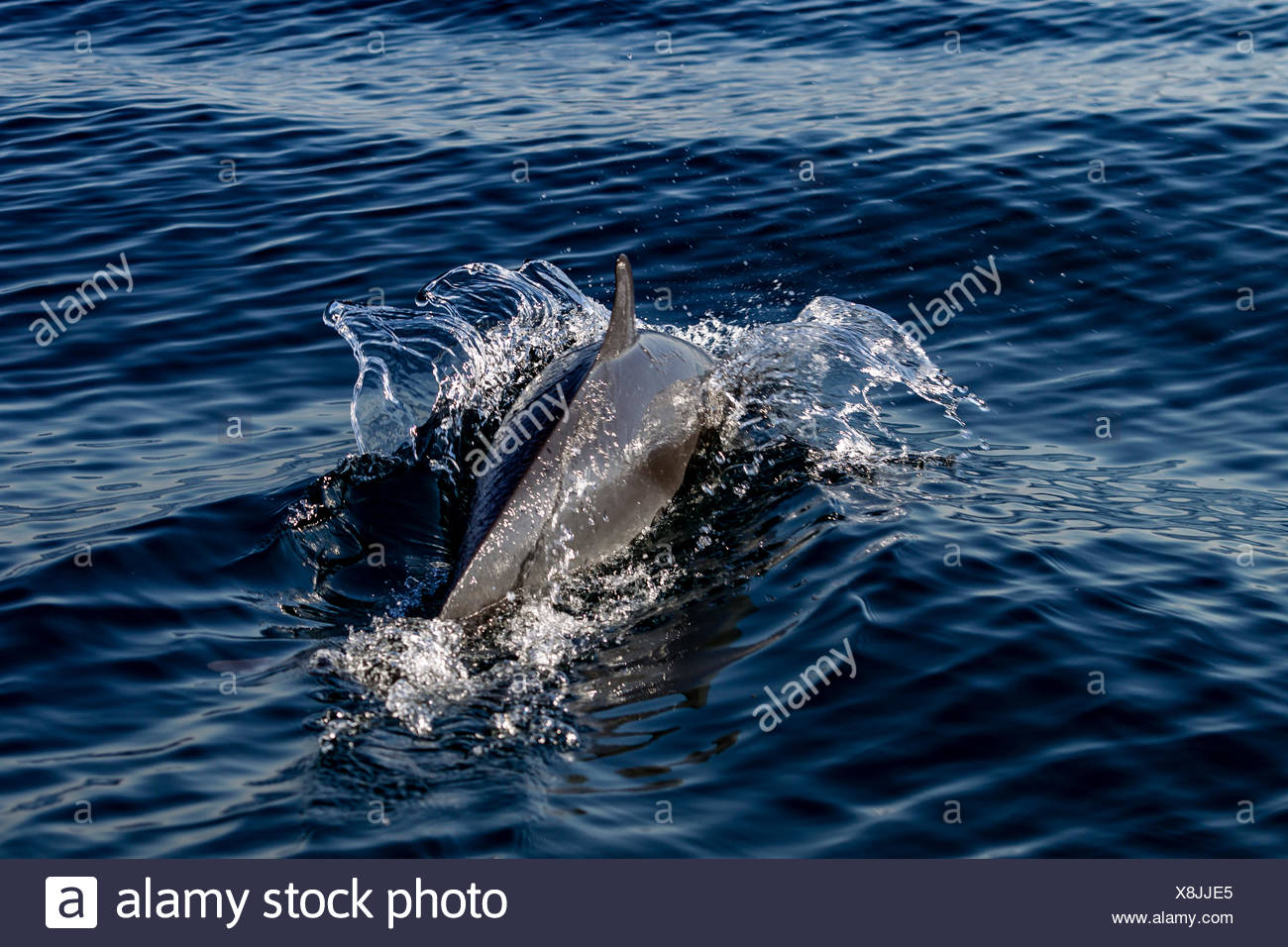 Pantropical Dolphin breaching for air, Port St. Johns, South Africa - Stock Image