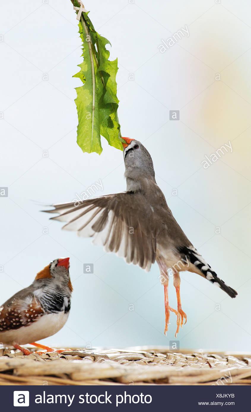 2 Zebra finches eating dandelion / Poephila guttata - Stock Image
