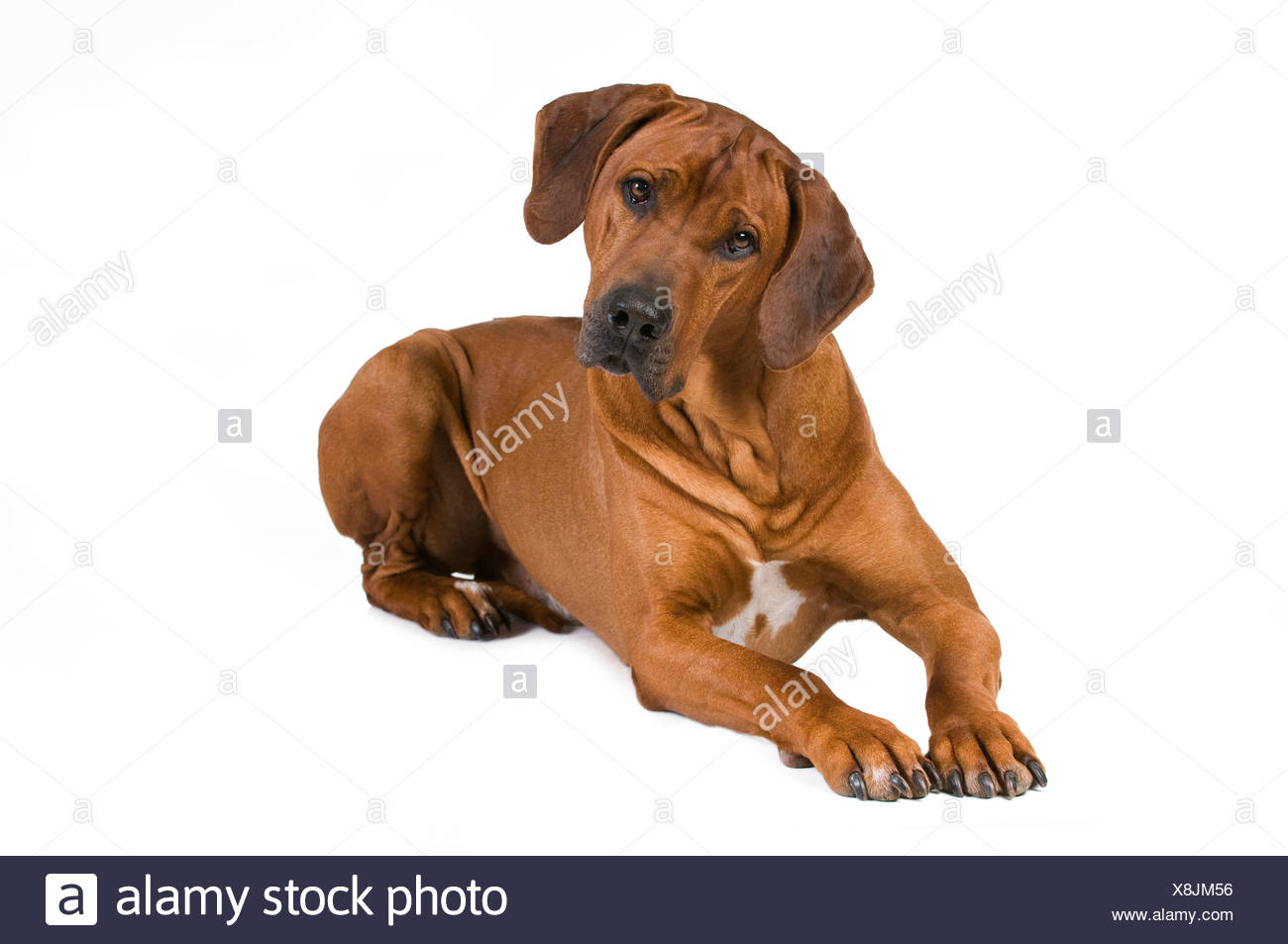 Rhodesian Ridgeback. Adult lying with head cocked to one side. Studio picture against a white background - Stock Image