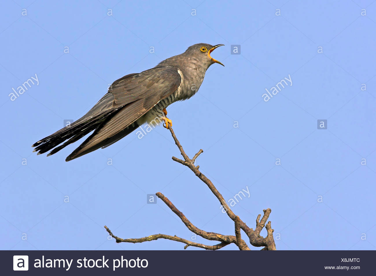 Eurasian cuckoo (Cuculus canorus), sitting on a branch and calling, Germany, Rhineland-Palatinate - Stock Image