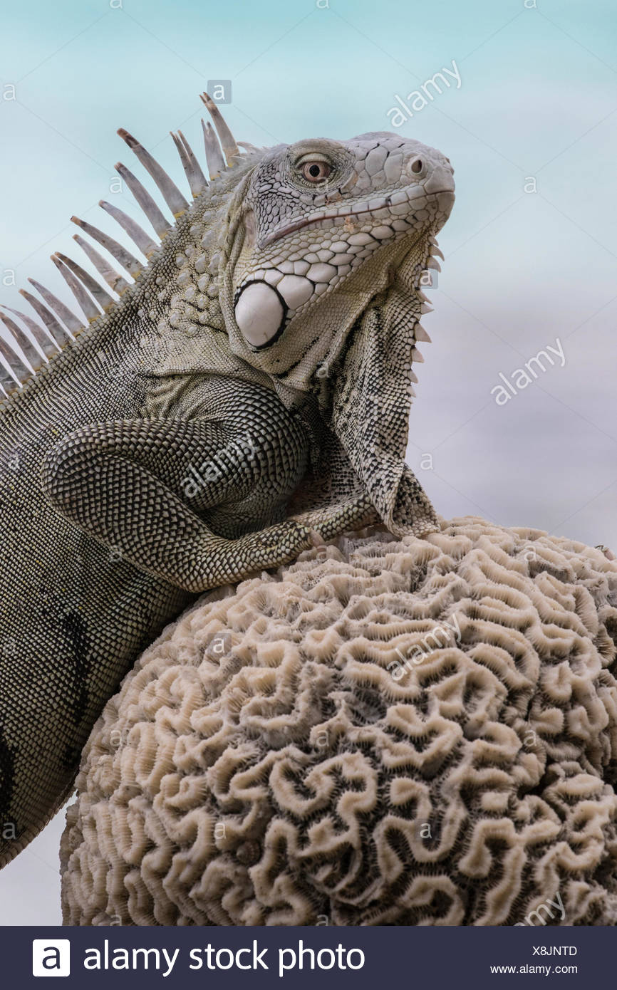 A green iguana, Iguana iguana, rests along the coast of Bonaire on a dried piece of brain coral. - Stock Image