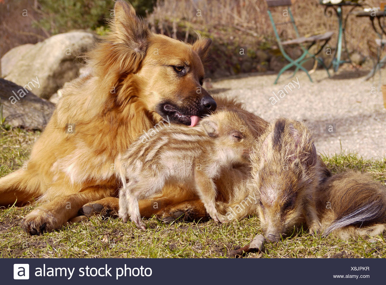 wild boar, pig, wild boar (Sus scrofa), dog playing with piglets, Germany - Stock Image