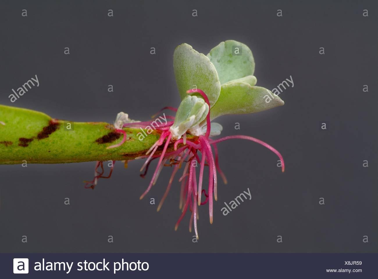 Penicillium roqueforti asexual reproduction