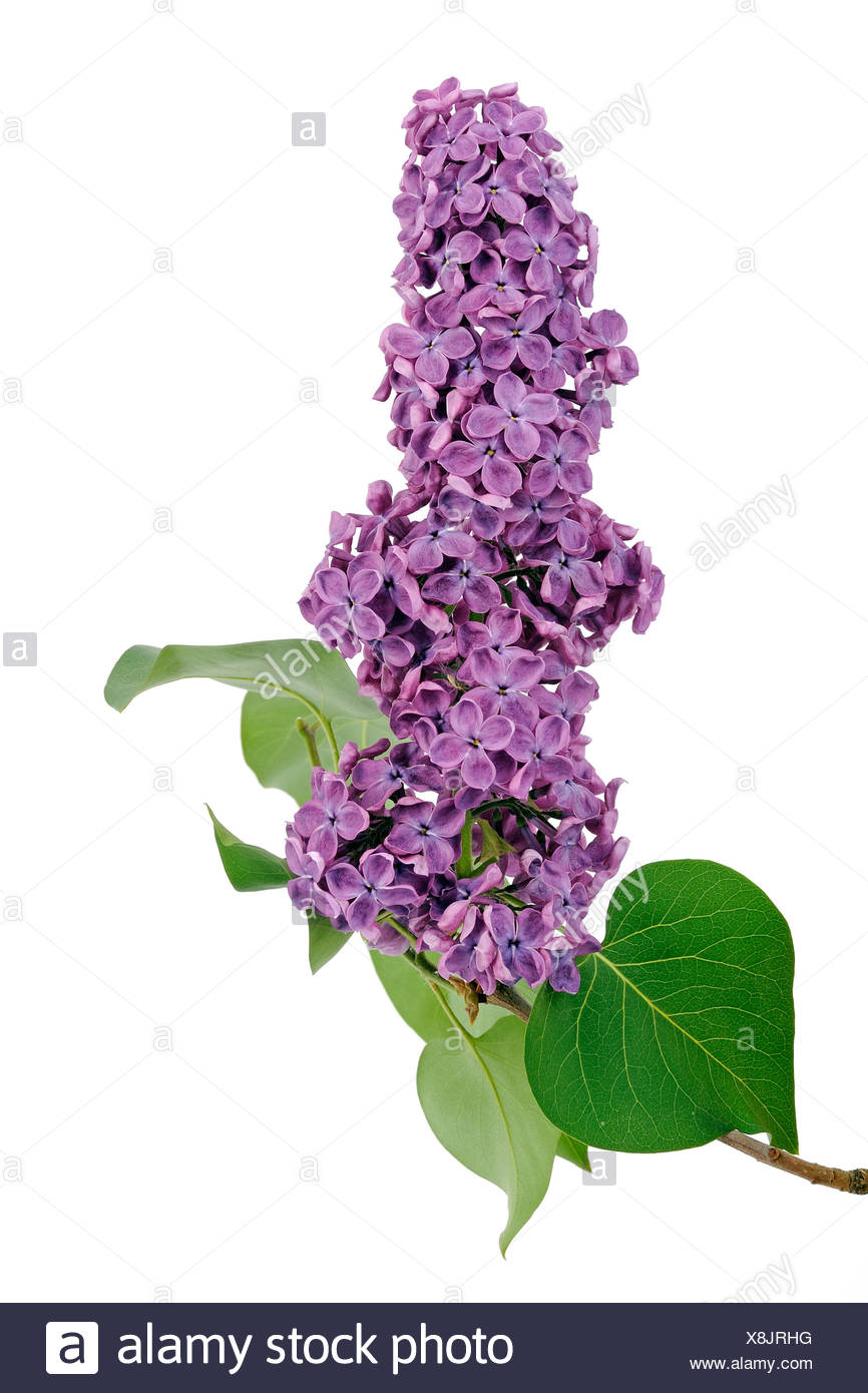 Purple Lilac (Syringa) - Stock Image