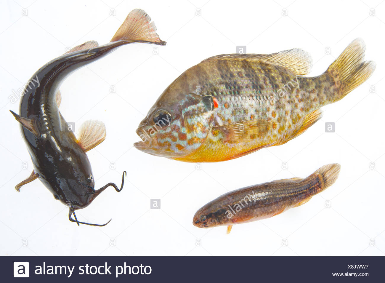 Composite image of American fish species introduced to Europe: Pumpkinseed sunfish (Lepomis gibbosus, left), Brown bullhead (Ameiurus nebulosus, right) and Eastern mudminnow (Umbra pygmaea, under), photographed in controlled conditions, Belgium. - Stock Image