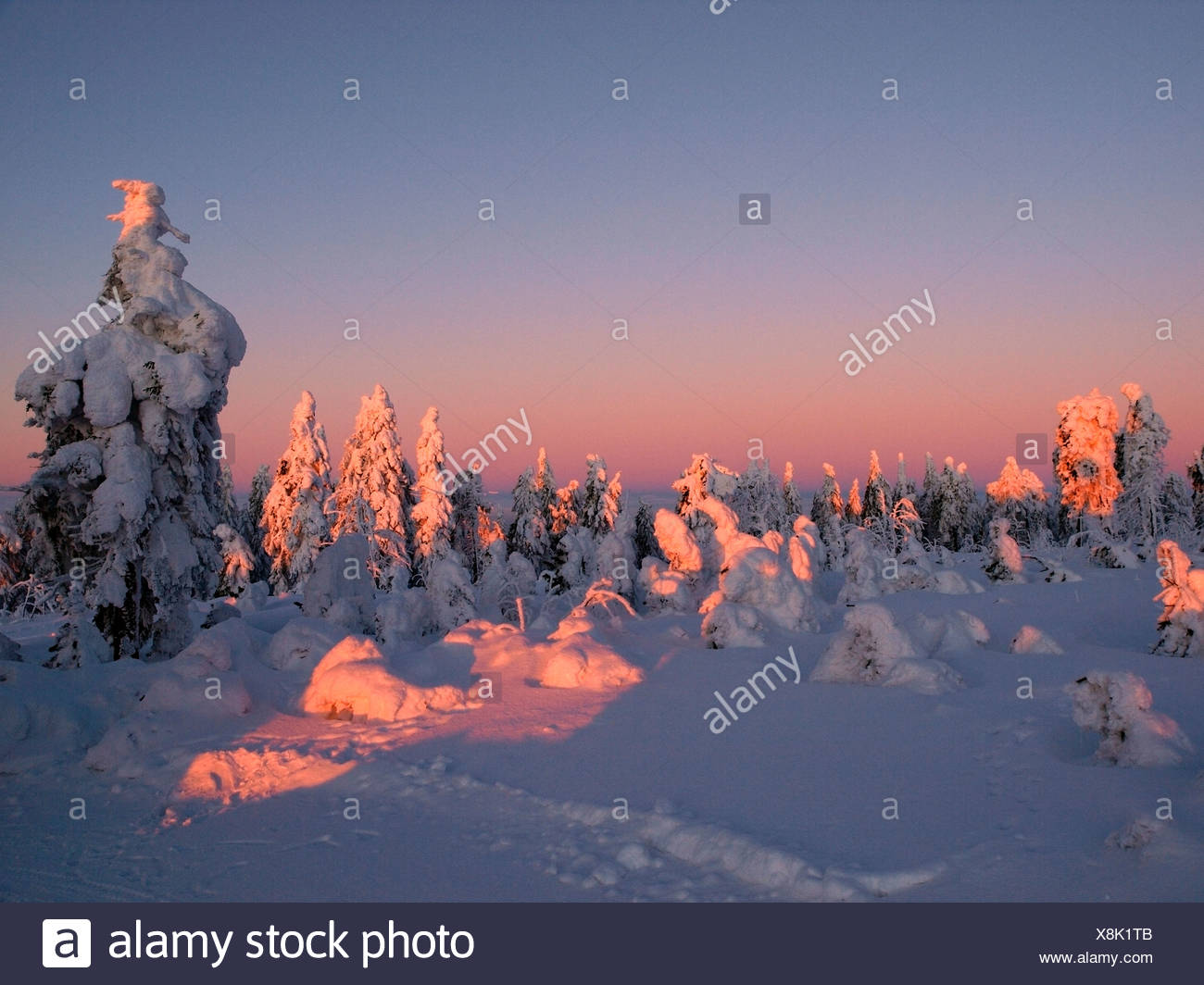 snow-covered light conifer forest in the light of the setting sun, Czech Republic, Erz Mountains, Keilberg - Stock Image