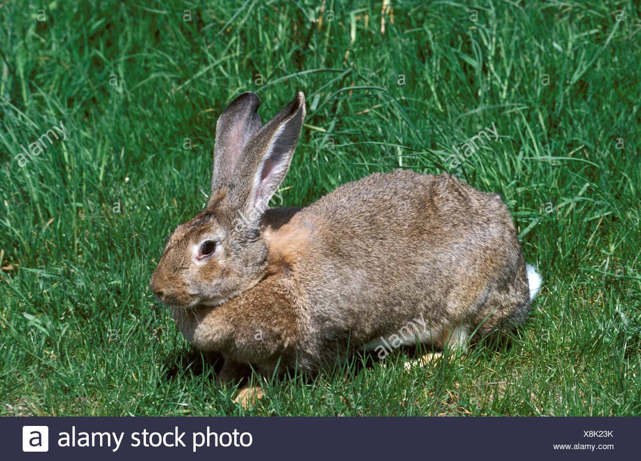 Flemish Giant Rabbit Breed From Flanders In Belgium Stock