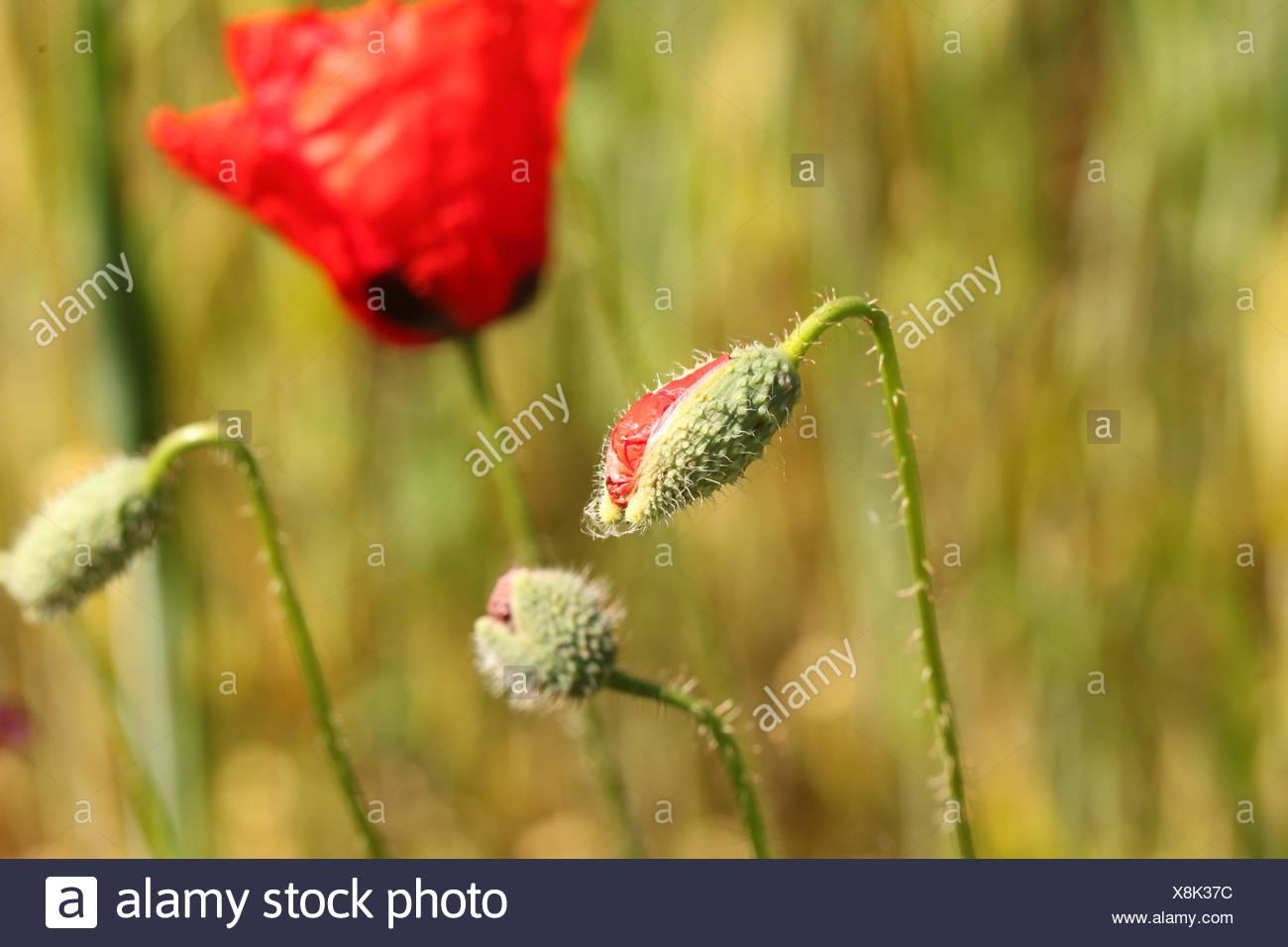 Red Poppy Flower Bud Stock Photo 280702784 Alamy