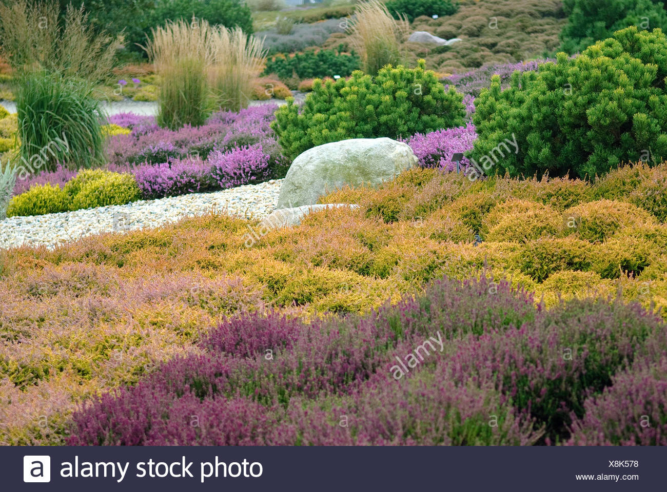 heather, ling (Calluna vulgaris 'Firefly', Calluna vulgaris Firefly), cultivar Firefly together with other cultivars - Stock Image