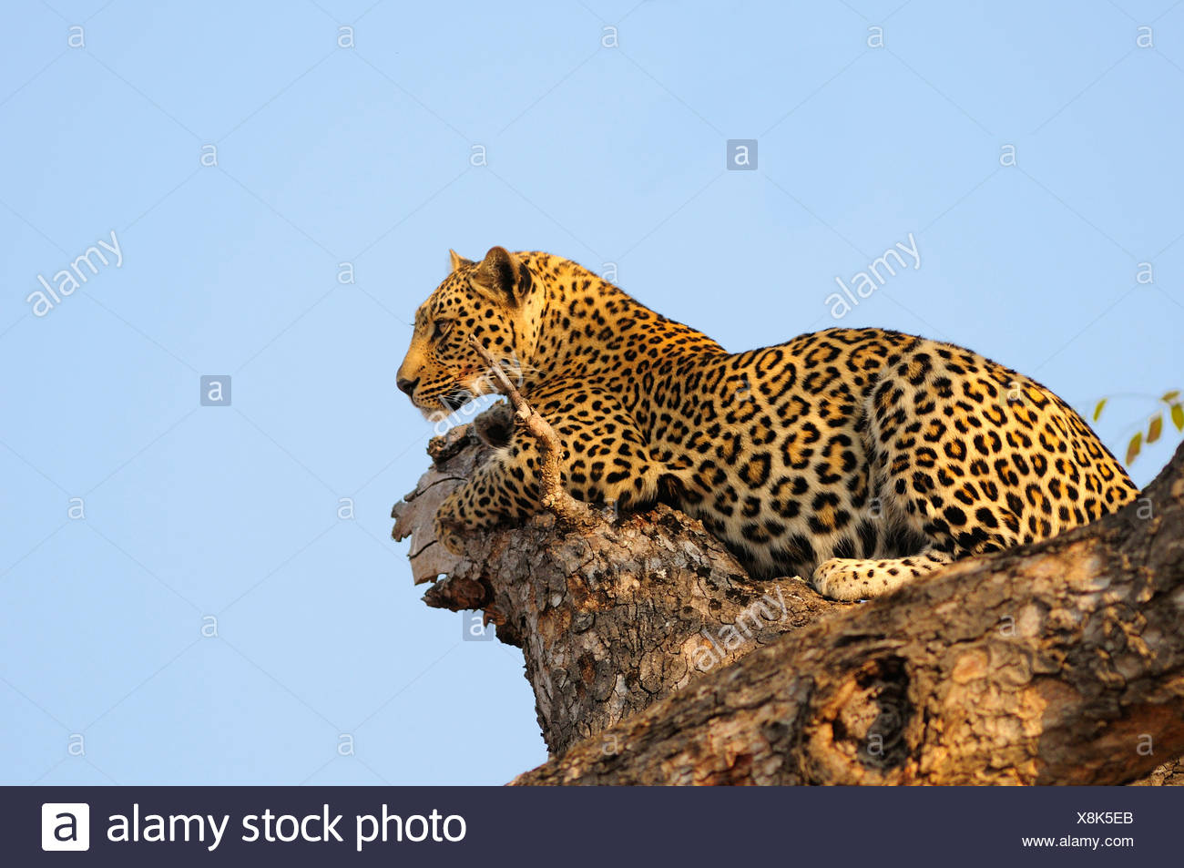 Leopard Panthera pardus Ulusaba Sir Richard Branson's Private Game Reserve Sabi Sands Game Reserve Mpumalanga South Africa tree - Stock Image
