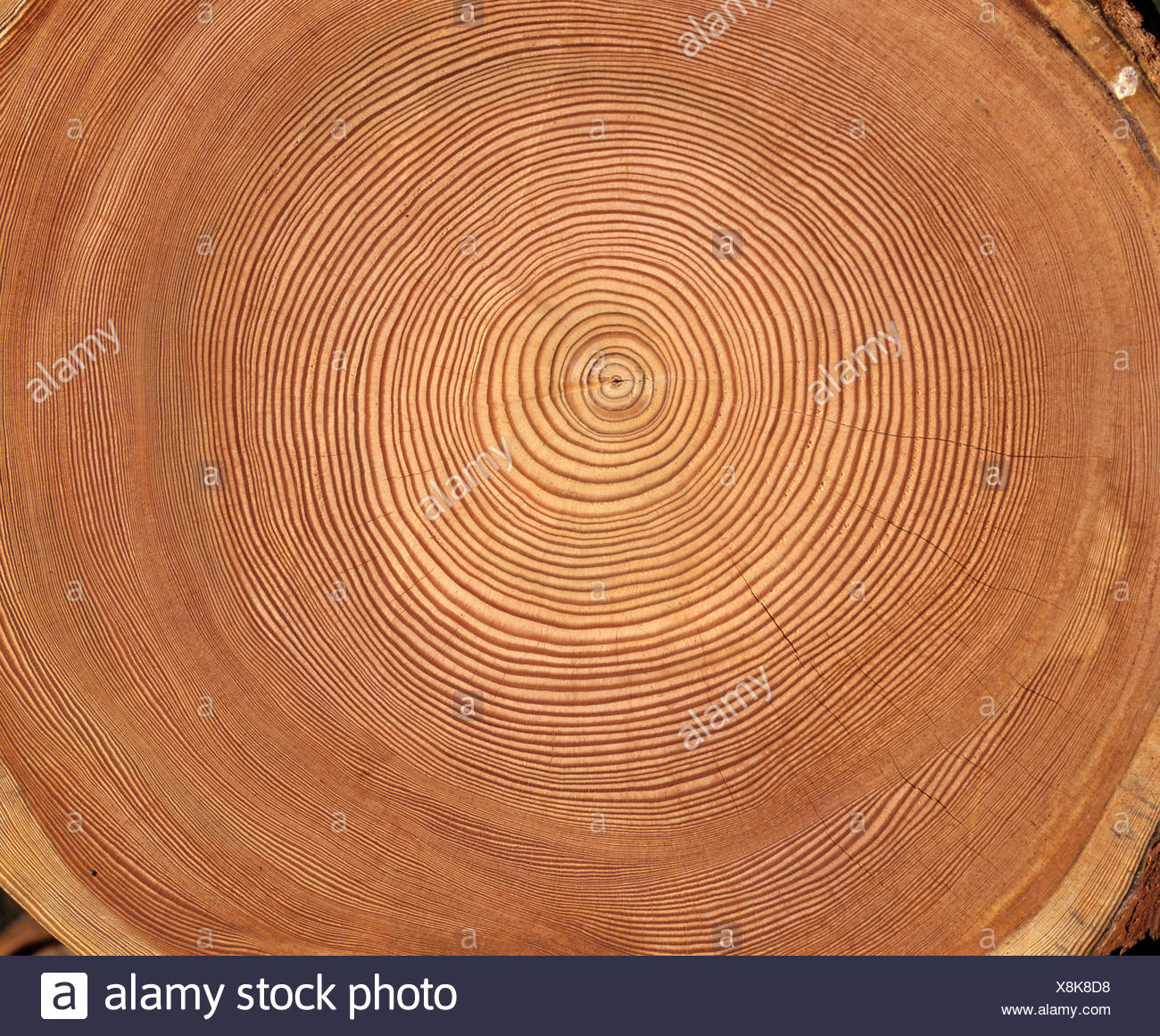 Larch (Larix) tree trunk cross-section: tree rings Stock Photo