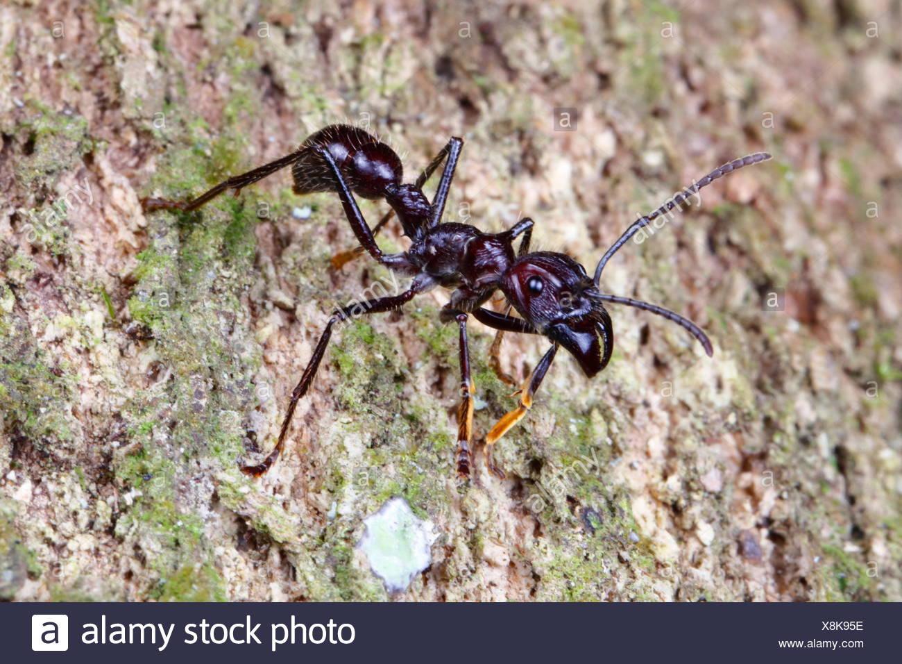A bullet ant, Paraponera clavata, crawling. Stock Photo