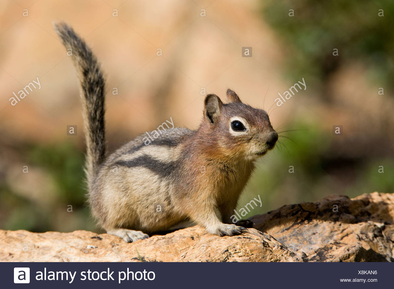 Golden-mantled ground squirrel (Spermophilus lateralis), Hidden Lake Overlook area, Glacier National Park, Montana, USA. - Stock Image