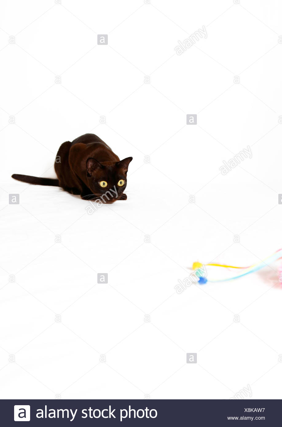 Burmese cat preying on cat toy Stock Photo