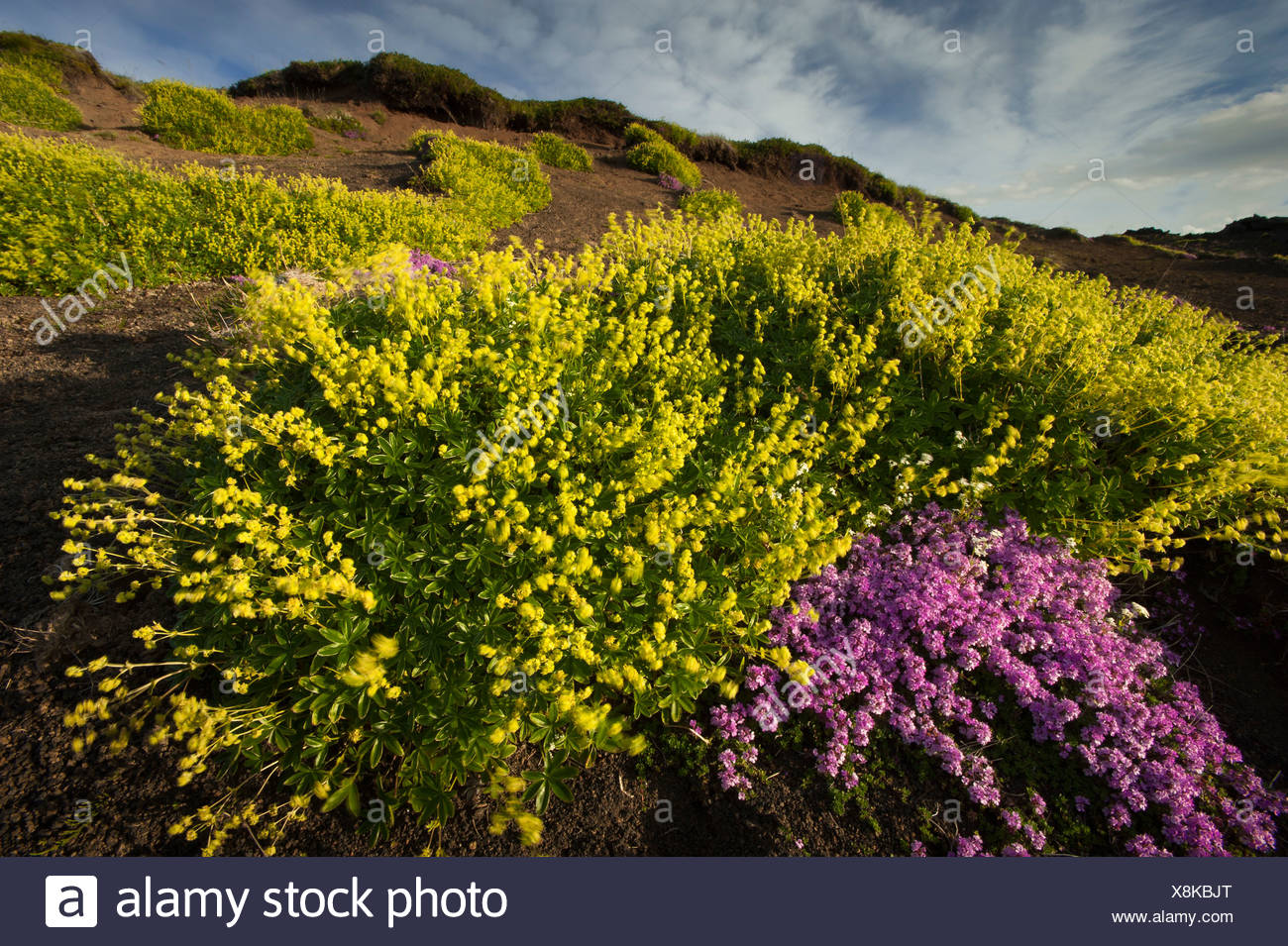 Moss Campion or Cushion Pink (Silene acaulis) and Hoppe's Lady's Mantle (Alchemilla hoppeana) in the lava field of - Stock Image