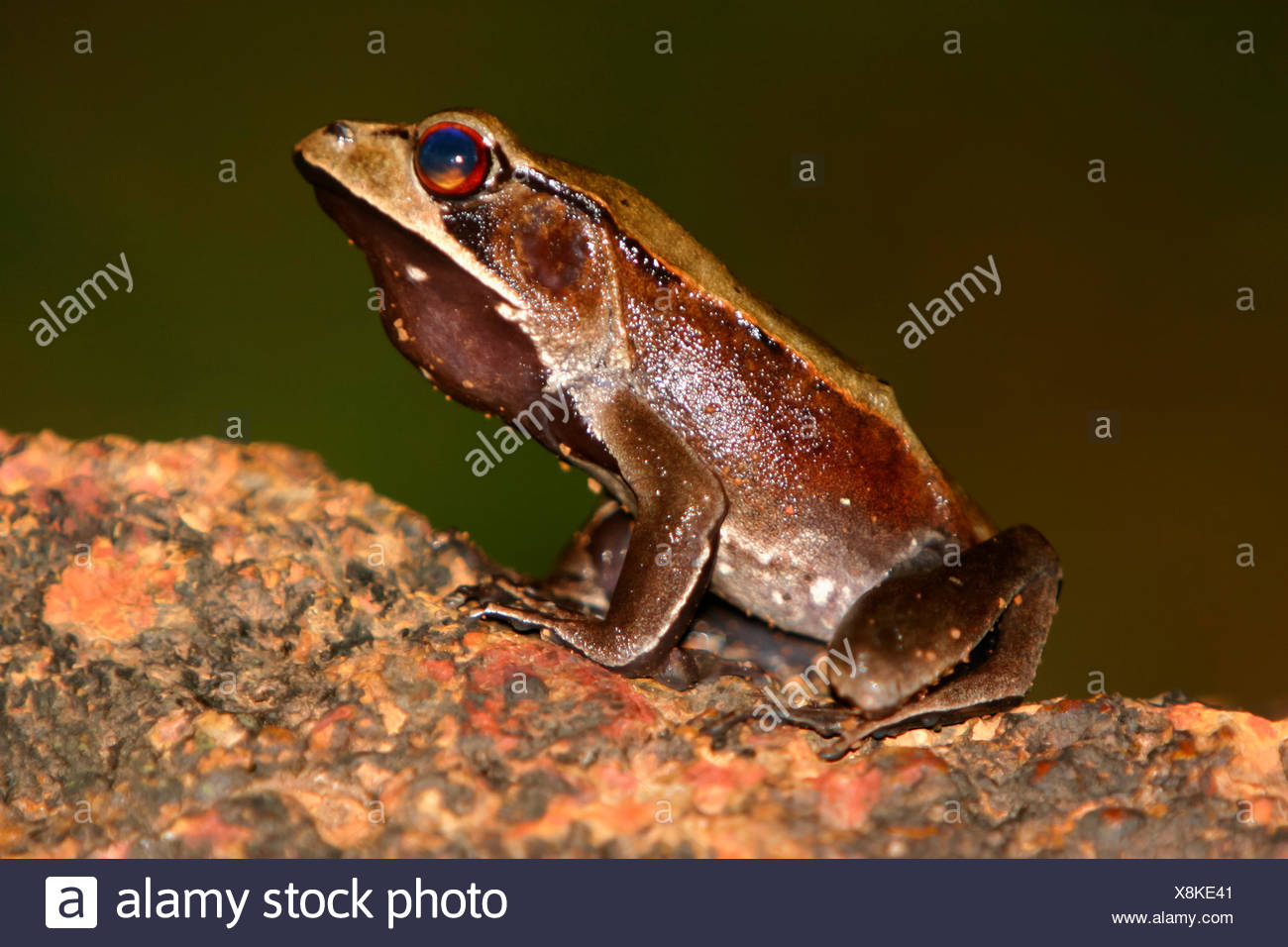 Bicolored Frog Clinotarsus curtipes  (Rana curticeps) Stock Photo