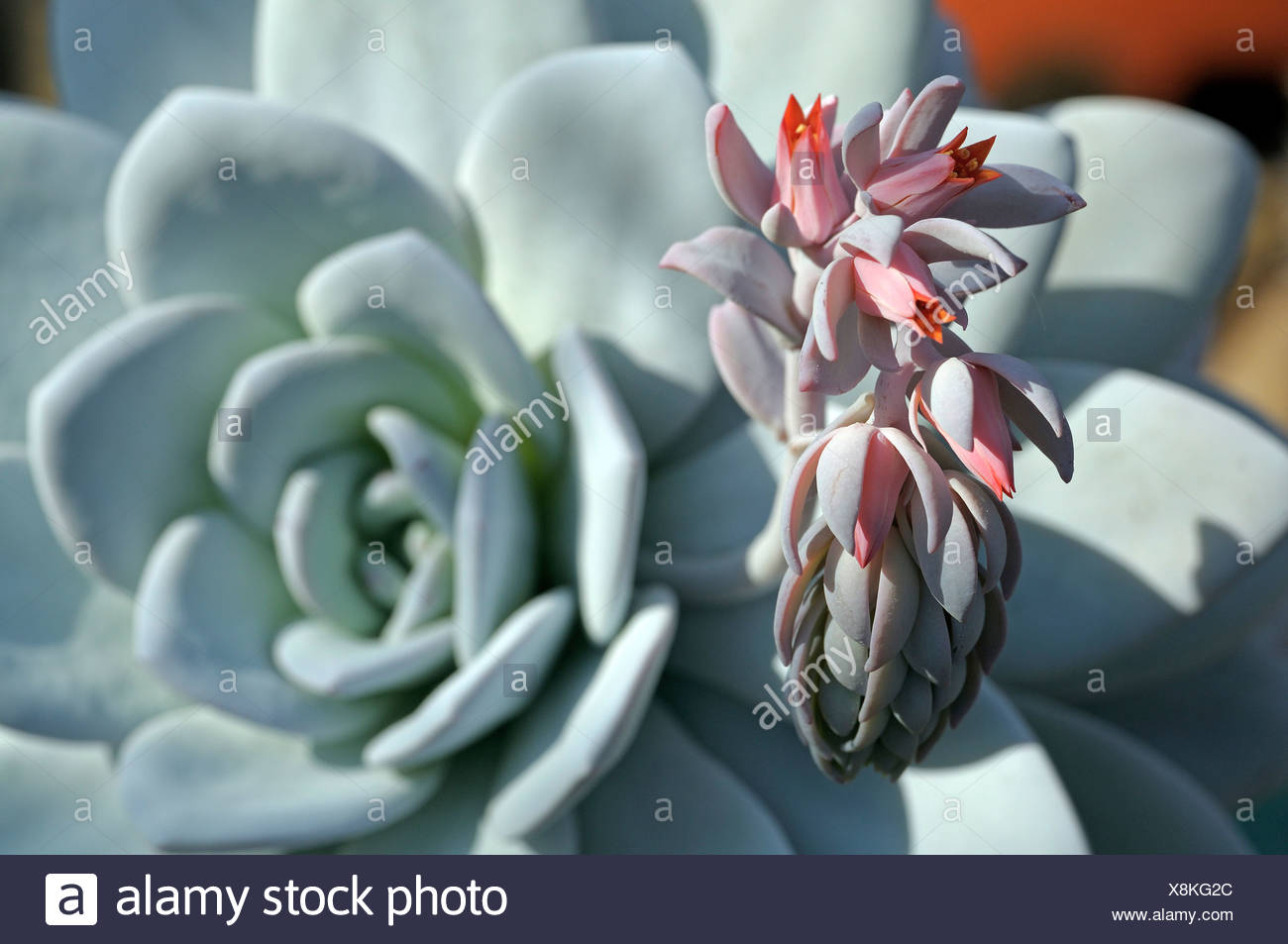 Echeverie (Echeveria laui) abloom Stock Photo