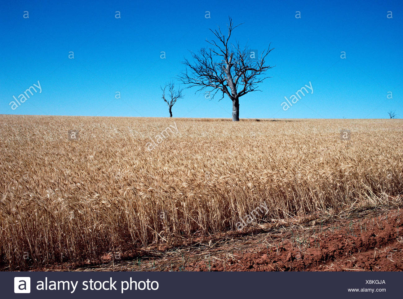 Australia.  New South Wales. Agriculture. Ripe wheat crop field with trees. - Stock Image