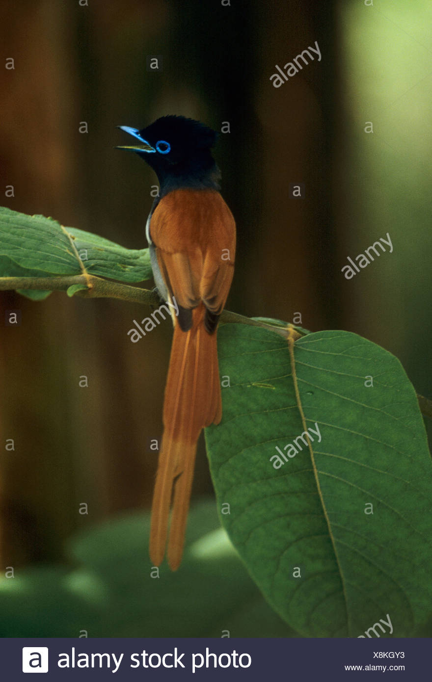 Seychelles paradise flycatcher Terpsiphone corvina Stock Photo