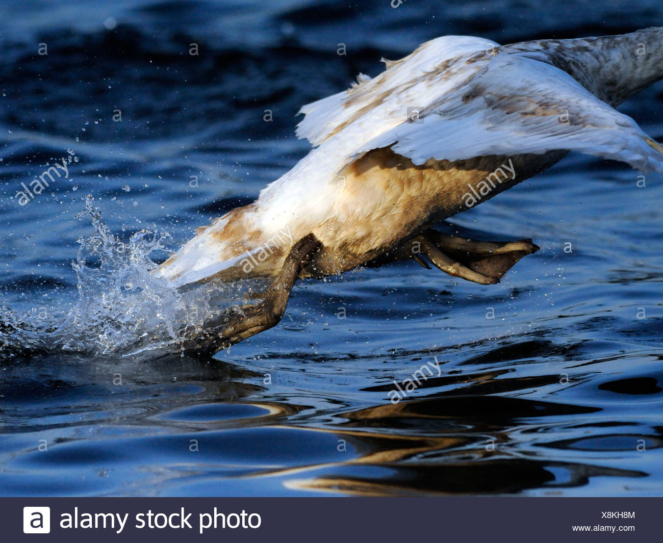 A young swan taking off from water. Stock Photo