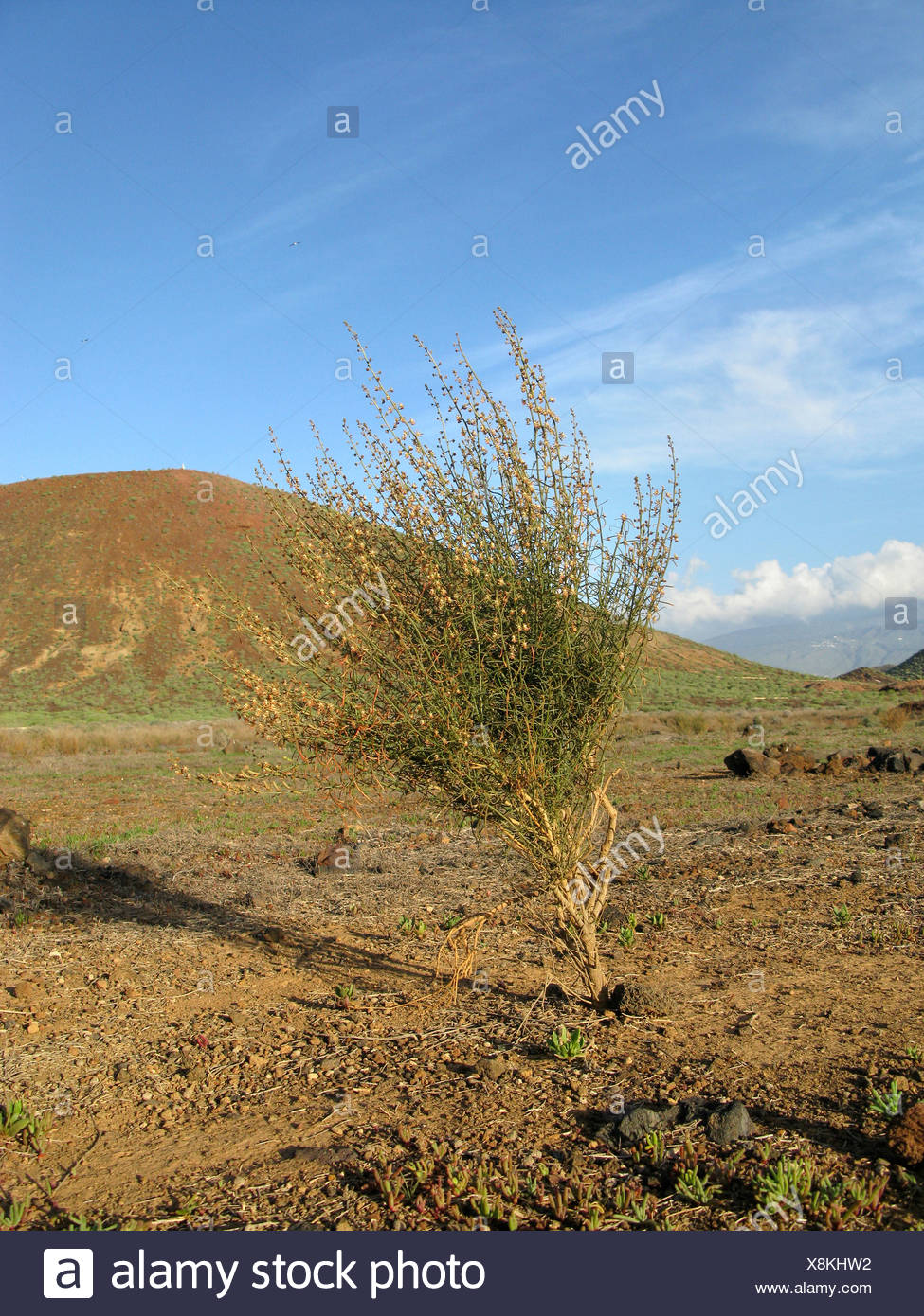 Canaries Mignonette (Reseda scoparia), in coastal vegetation, endemic to the Canary Islands, Canary Islands, Tenerife - Stock Image