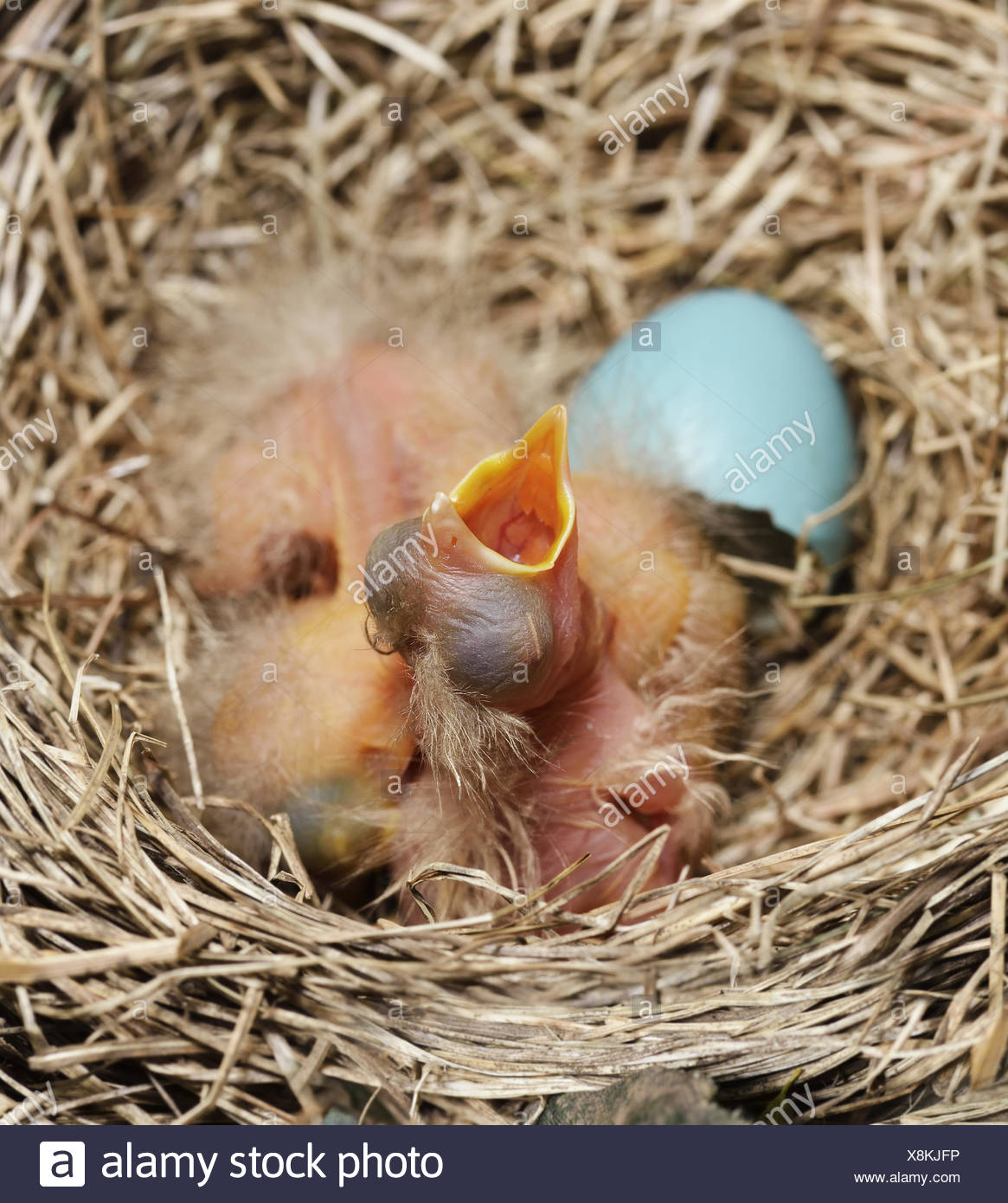 Baby Birds Just Hatched Stock Photos & Baby Birds Just ...