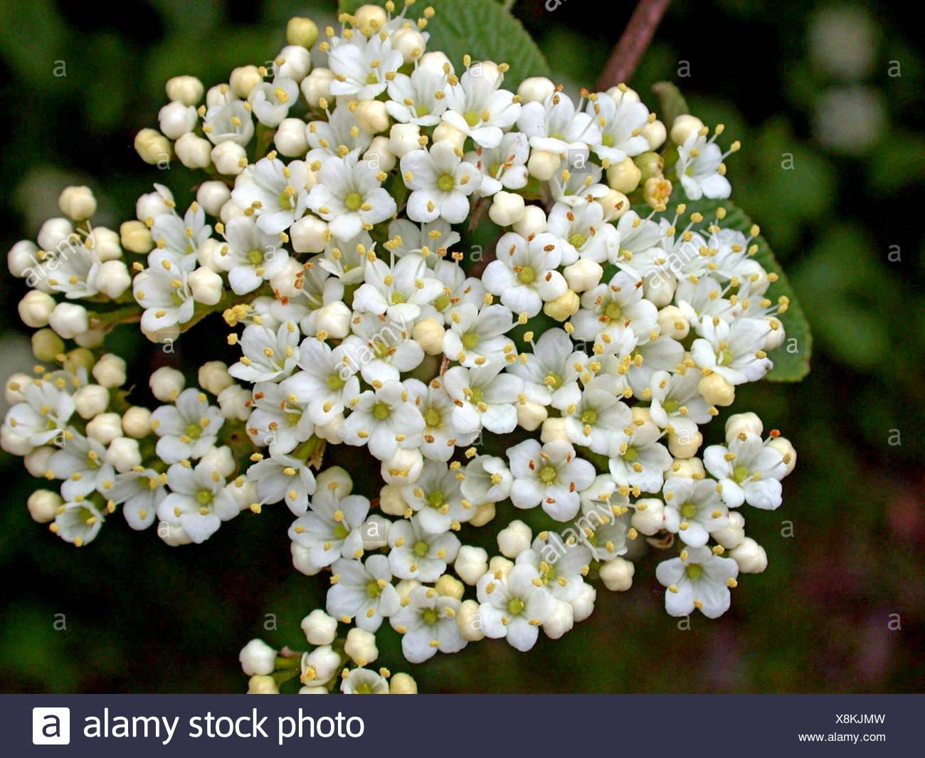 wayfaring-tree (Viburnum lantana), inflorescence, Germany Stock Photo