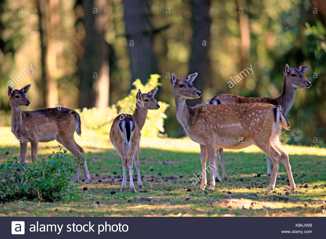 Fallow Deer (Cervus dama), does with fawns, captive, Wildpark Silz, Silz - Palatinate, Rhineland-Palatinate, Germany Stock Photo