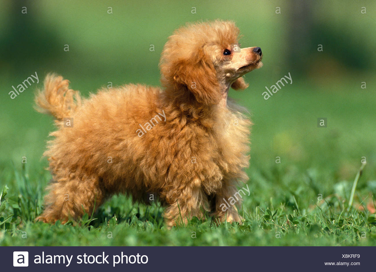 ABRICOT TOY POODLE, MALE STANDING ON GRASS - Stock Image