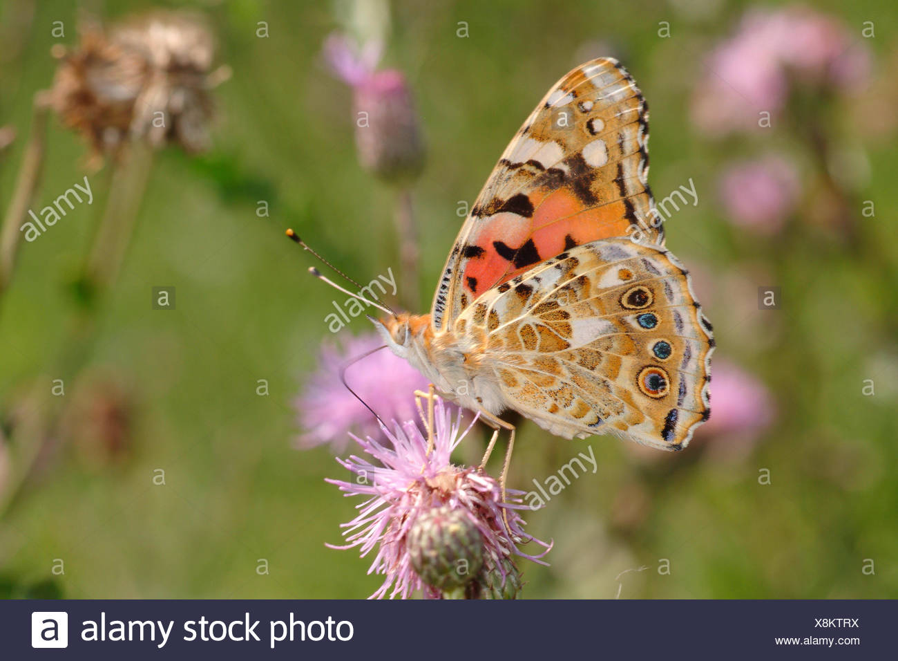 painted lady, thistle (Cynthia cardui, Vanessa cardui), sucking nectar from a thistle, Germany - Stock Image