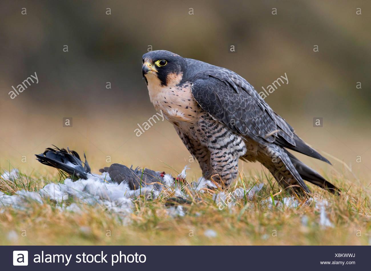 Wanderfalke, Wander-Falke (Falco peregrinus), mit Beute, Deutschland, Bayern | peregrine falcon (Falco peregrinus), with prey, G - Stock Image