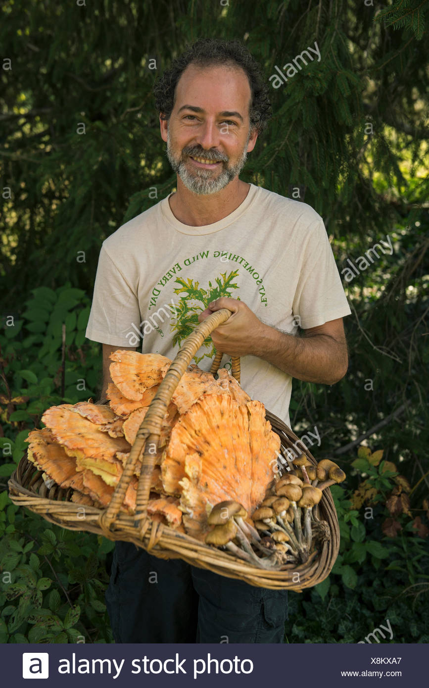 A man holds a basket of chicken of the woods mushrooms and honey mushrooms. - Stock Image
