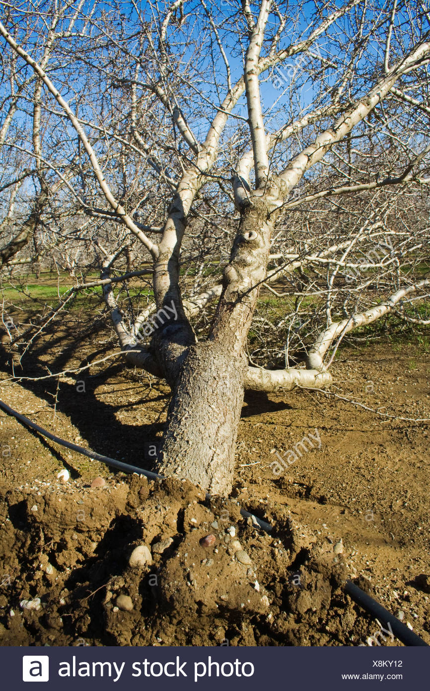 Agriculture - A toppled almond tree uprooted by heavy winds during a major Winter storm / near Orland, California, USA. - Stock Image