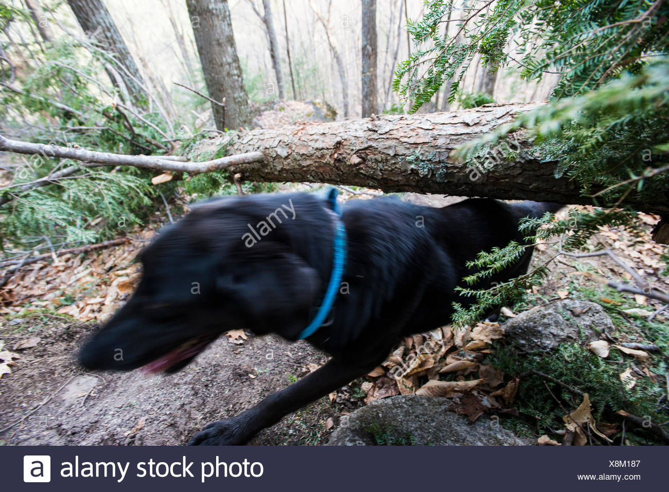 Sneaking under a downed tree - Stock Image
