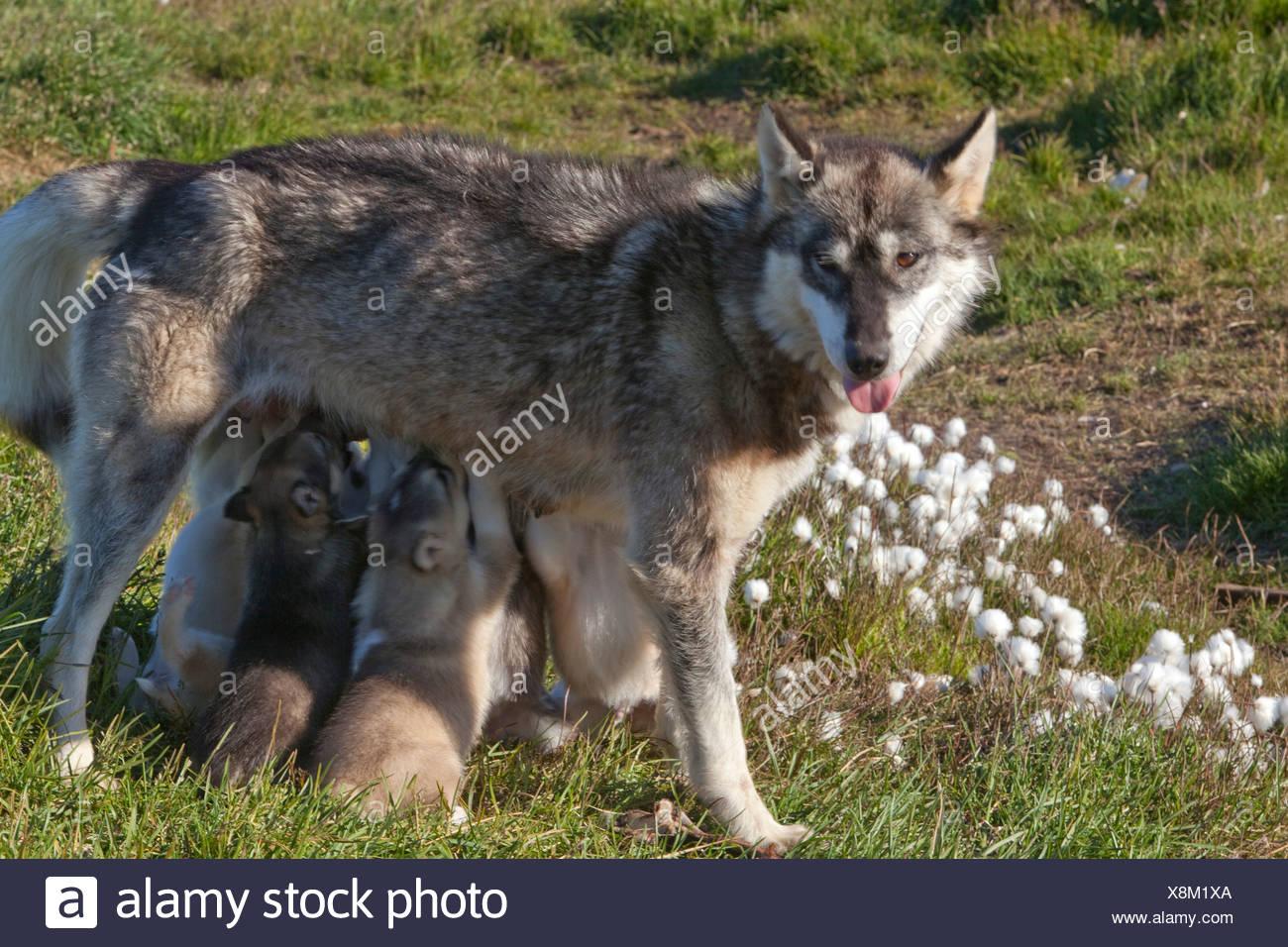 young, sledge dogs, Greenland, East Greenland, animals, animal, dog, nurse, - Stock Image