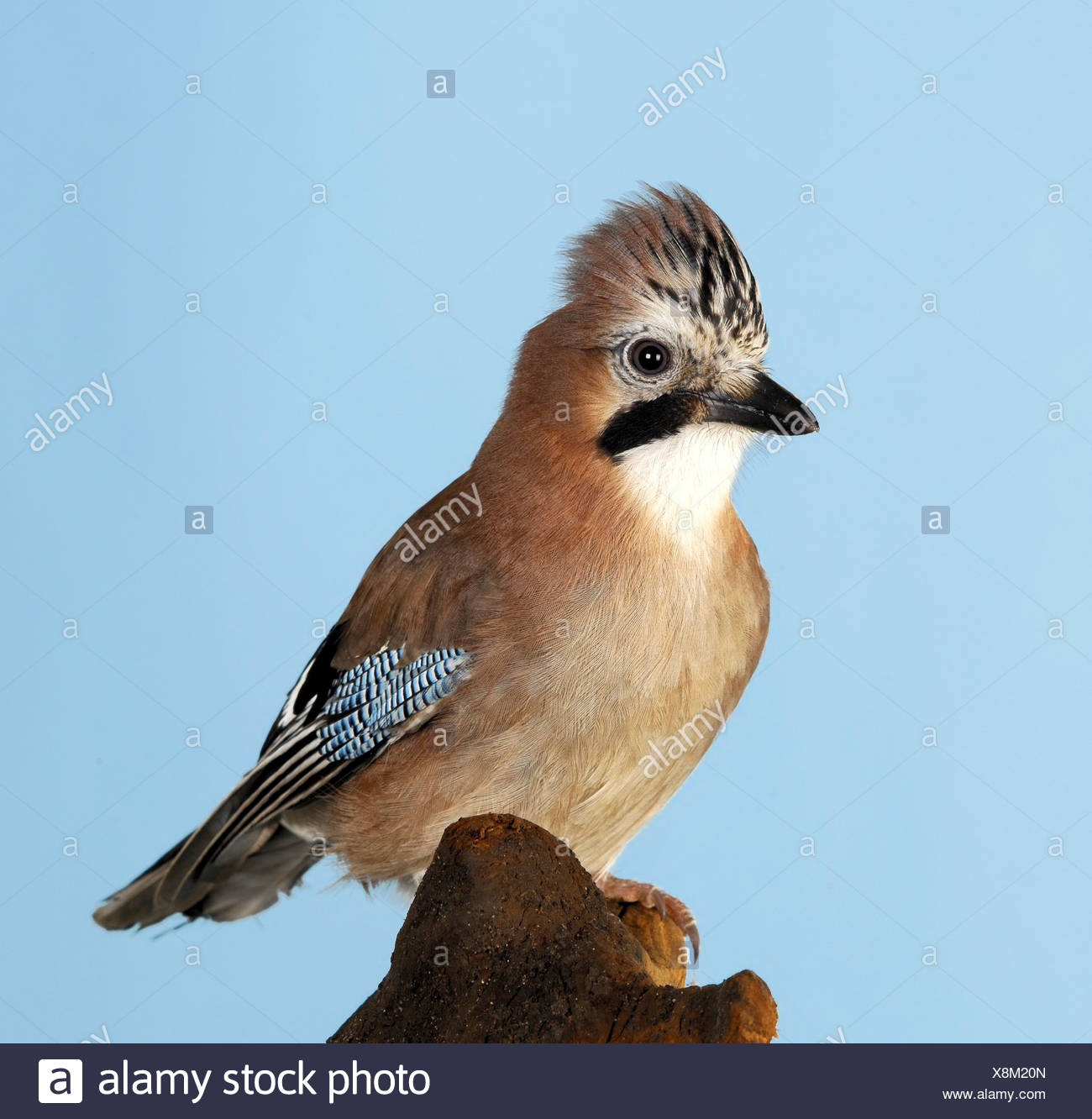 Jay perched on tree stump - Stock Image