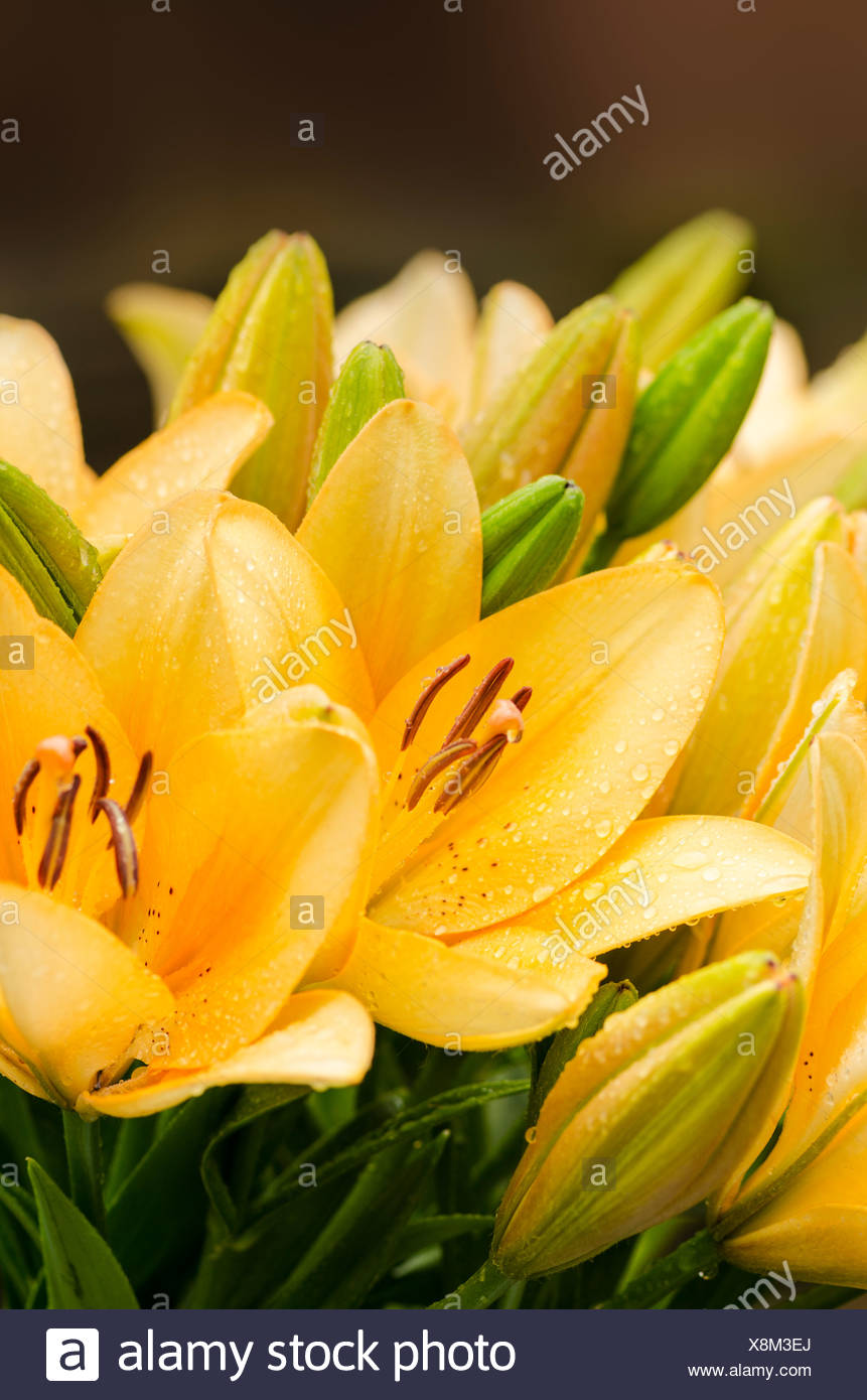 Types of lilies stock photos types of lilies stock images alamy yellow lilies lilium trumpet lilies stock image izmirmasajfo