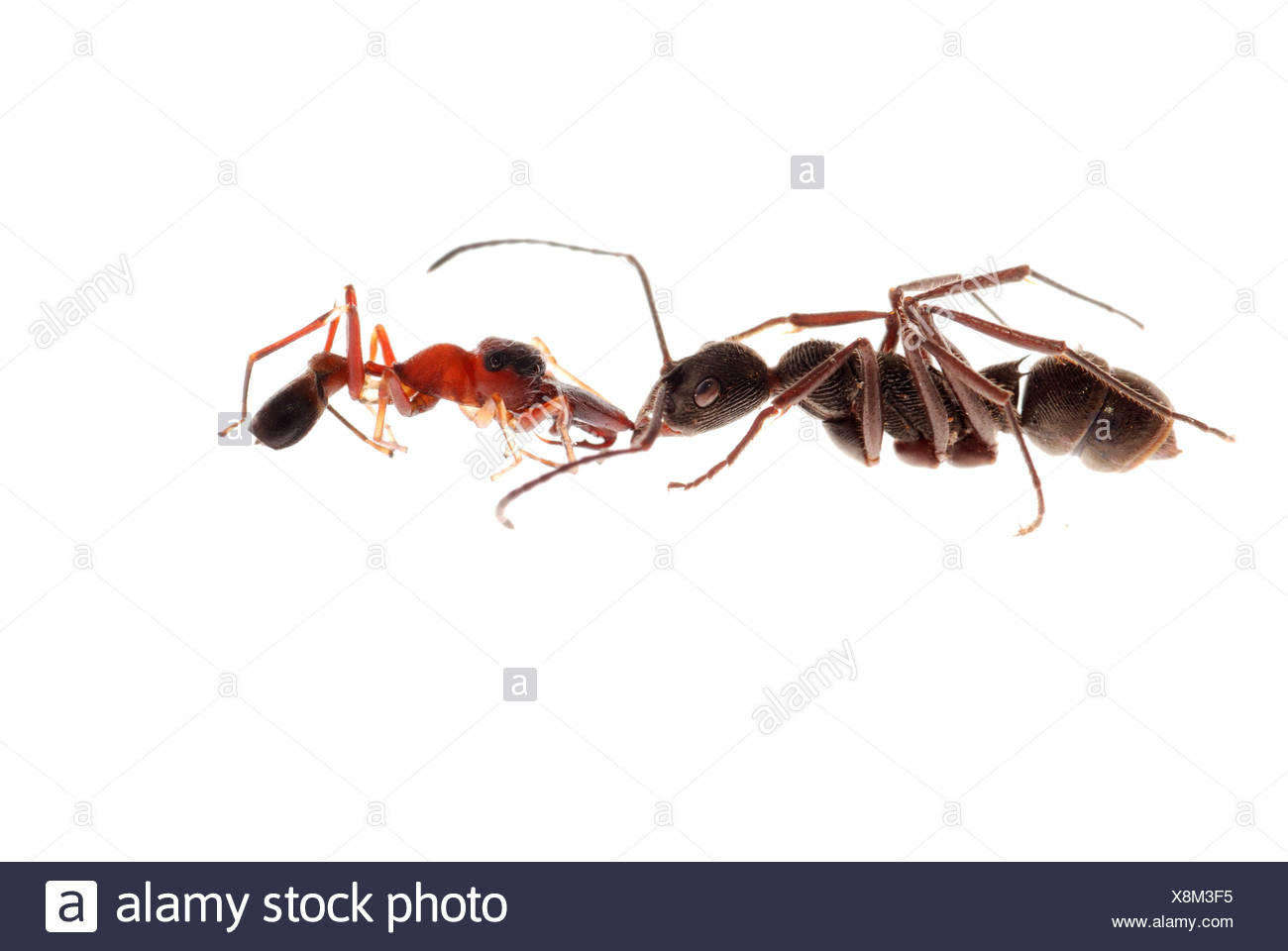 ant and ant mimic spider - Stock Image