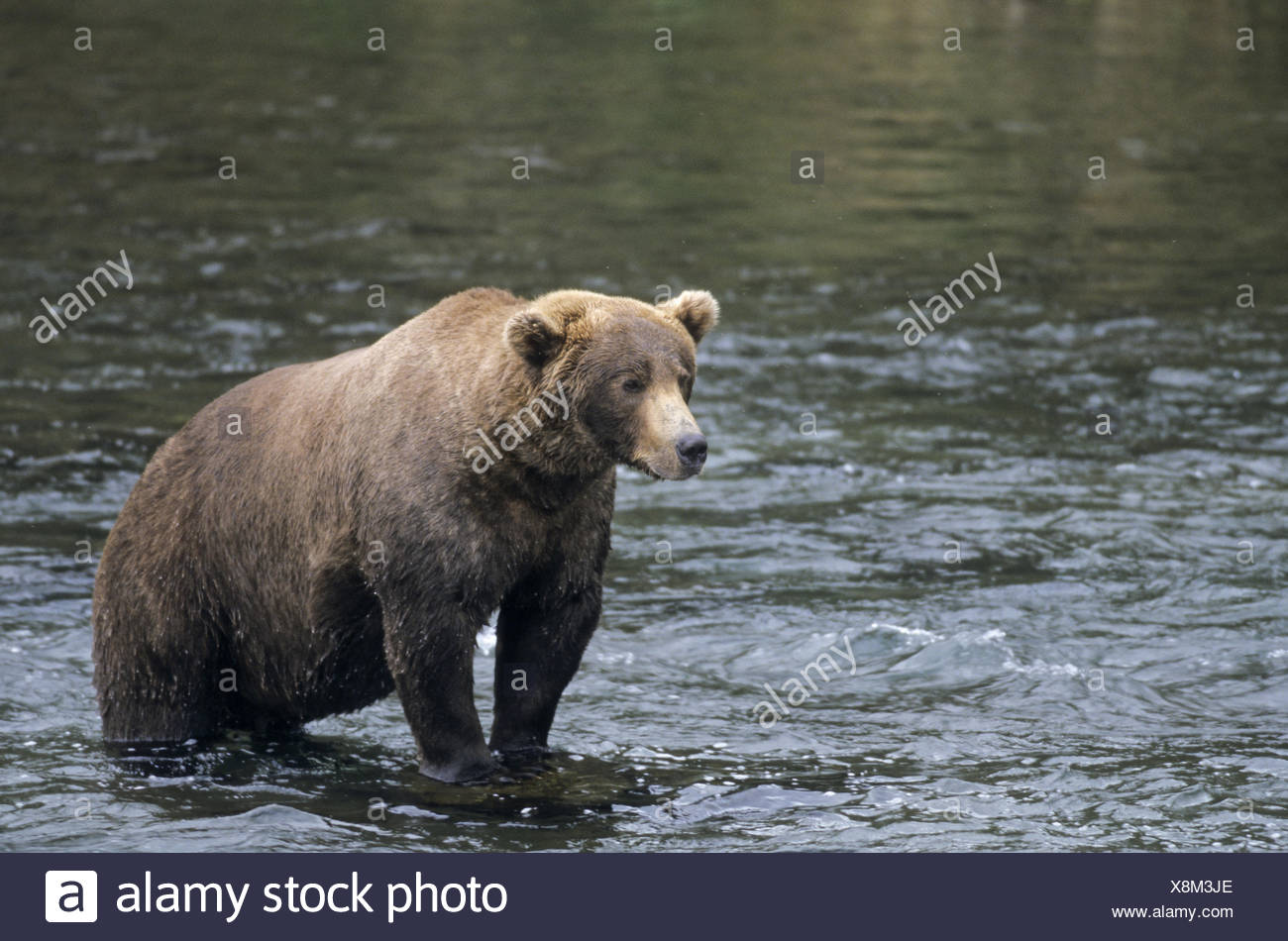 One Grizzly Bear catching Salmon in Brooks River - Stock Image