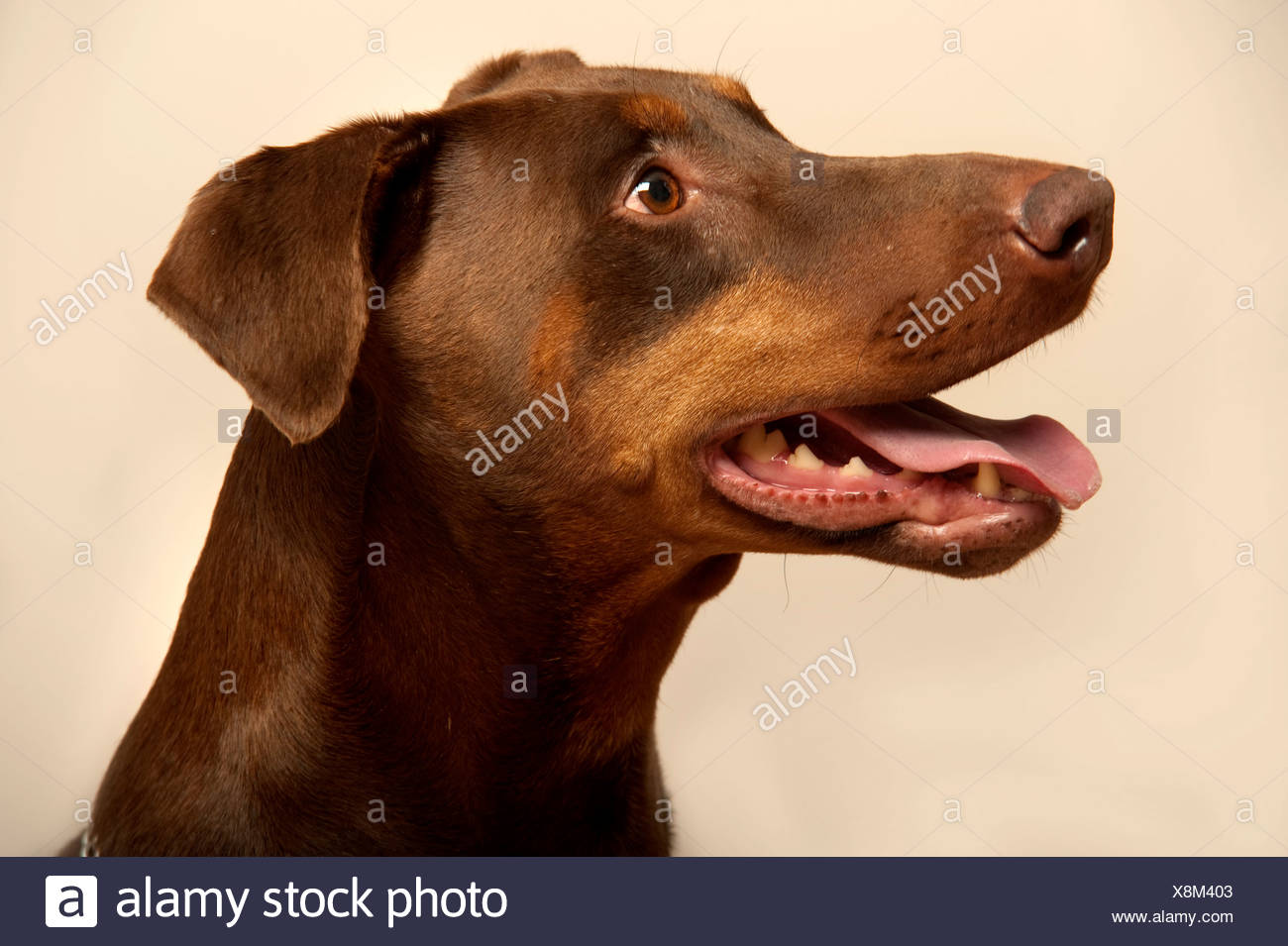 Dobermann Dog UK - Stock Image