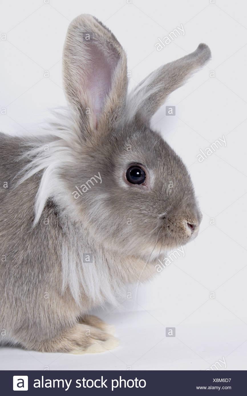 portrait young lionhead cross grey rabbit Stock Photo