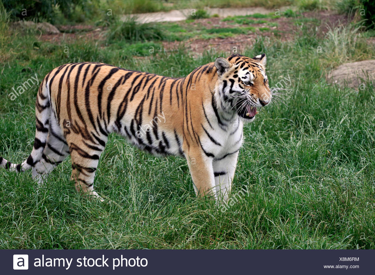 Siberian Tiger (Panthera tigris altaica), adult, snarling, native to Asia, captive, England, United Kingdom - Stock Image