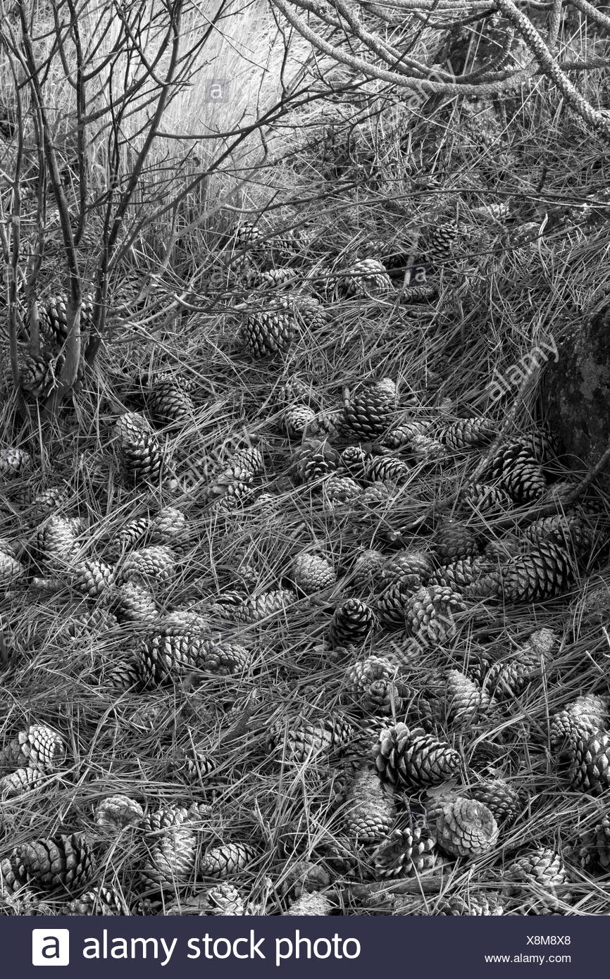 Pinecones and Pine needles (  Western White Pine - Pinus monticola) Kelowna, B.C. B&W - Stock Image
