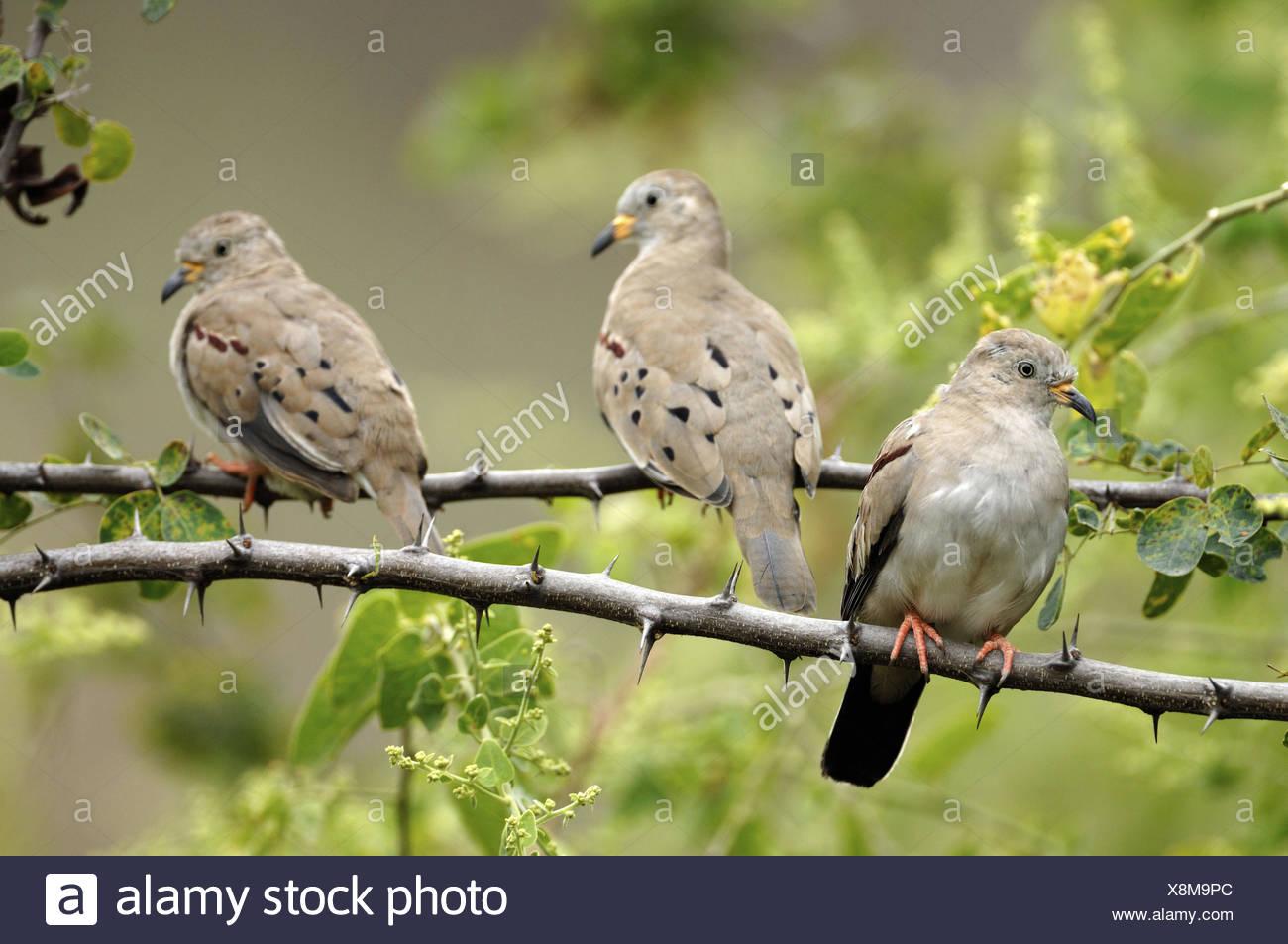 Croaking ground doves (Columbina cruziana) Chaparri Ecological Reserve, Peru, South America Stock Photo