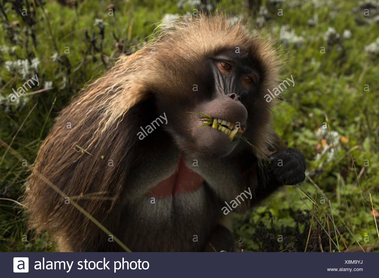 An adult male gelada uses his hand to pull grass through his teeth to remove the seed pods at the top. - Stock Image