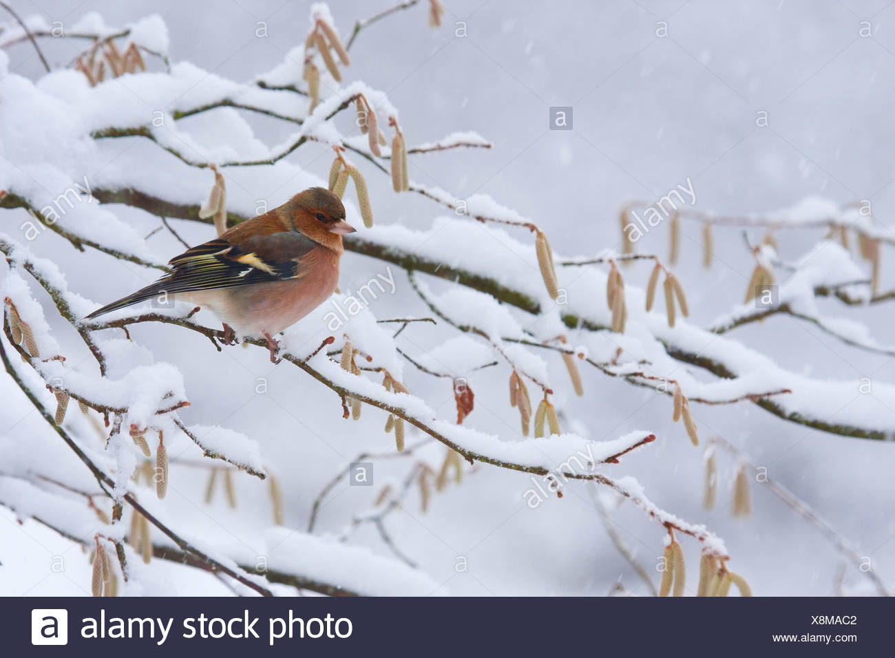 chaffinch (Fringilla coelebs), male sitting on a snowcovered branch, Germany, Rhineland-Palatinate - Stock Image